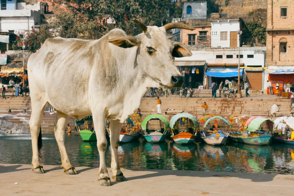 Beef consumption by minority groups has provoked violent attacks by Hindu extremists in India. Photo: iStock