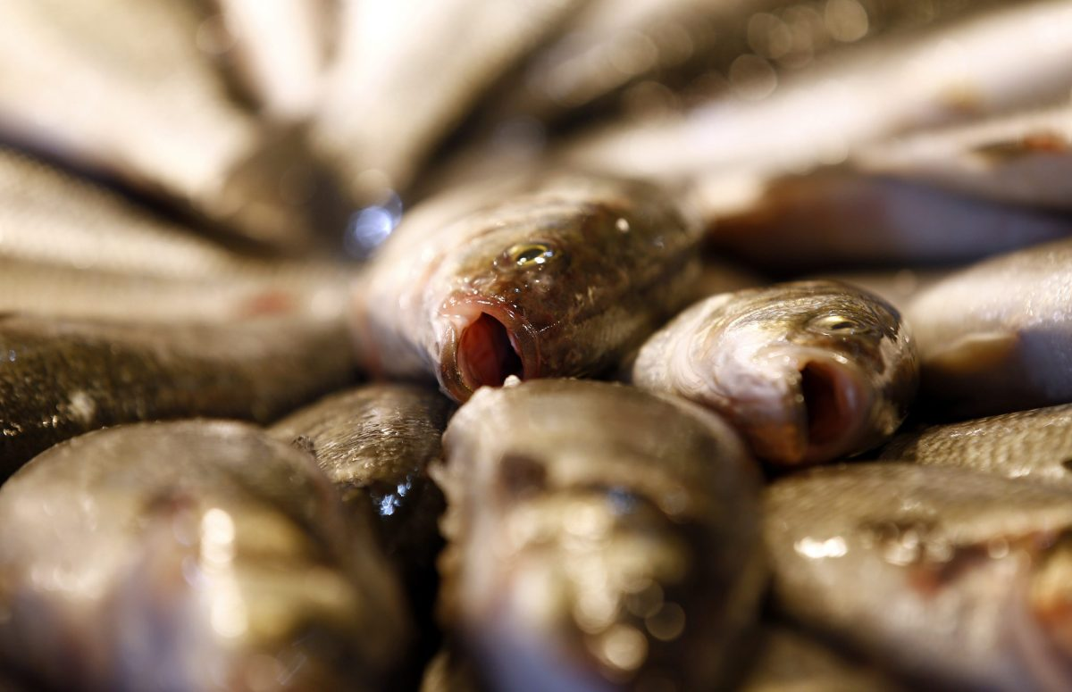 Fresh sea bass at Rialto Market in Venice. Photo:  Reuters/Stefano Rellandini