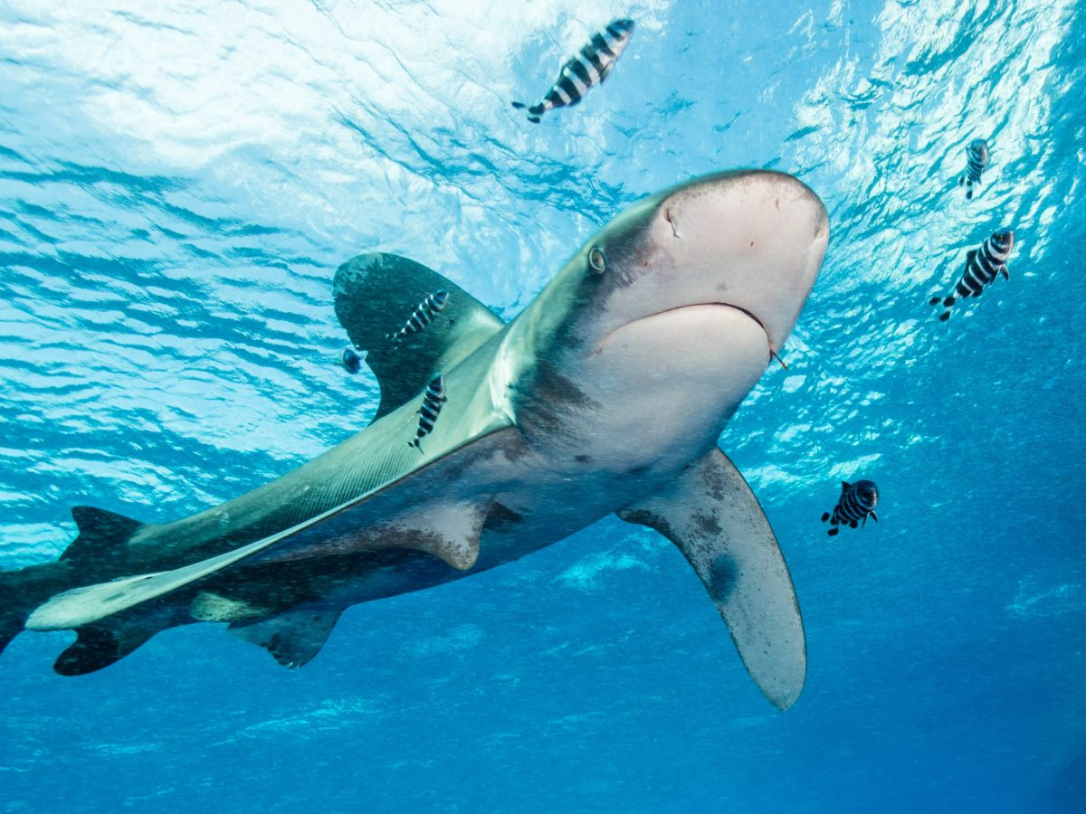The Oceanic whitetip shark is one of the key species traded in Singapore. Photo: Wikimedia Commons