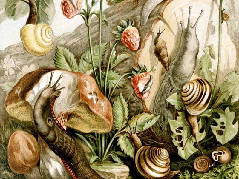 An artistic illustration of land molluses loosely depicts various examples of European land snails and slugs that are mostly pulmonates with one exception: Pomatias elegans in the center foreground with operculum. It also shows eggs, food plants and a predator. Photo: Wikimedia Commons