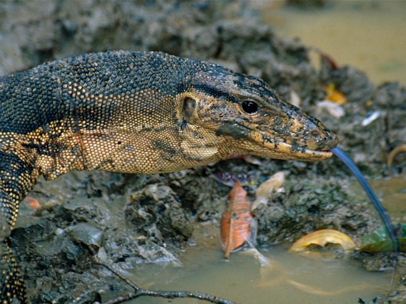 A water monitor (Varanus salvator) is one of the many reptiles living along the Kinabatangan River. Photo: Wikimedia Commons