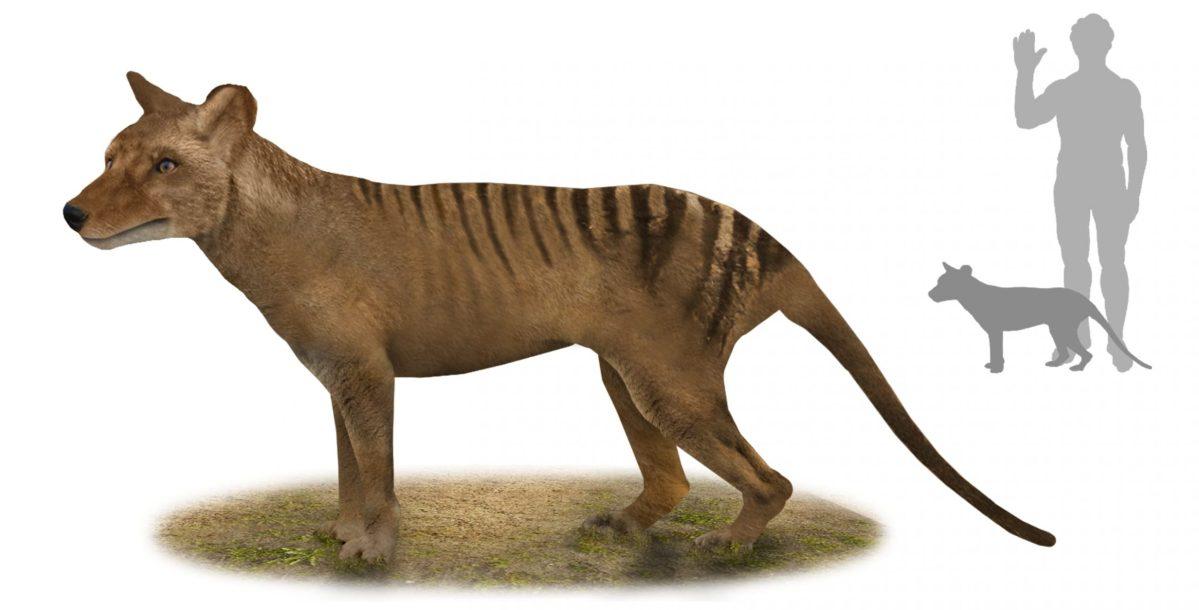 The thylacine (Thylacinus cynocephalus) was declared extinct in 1936. Photo: Wikimedia Commons