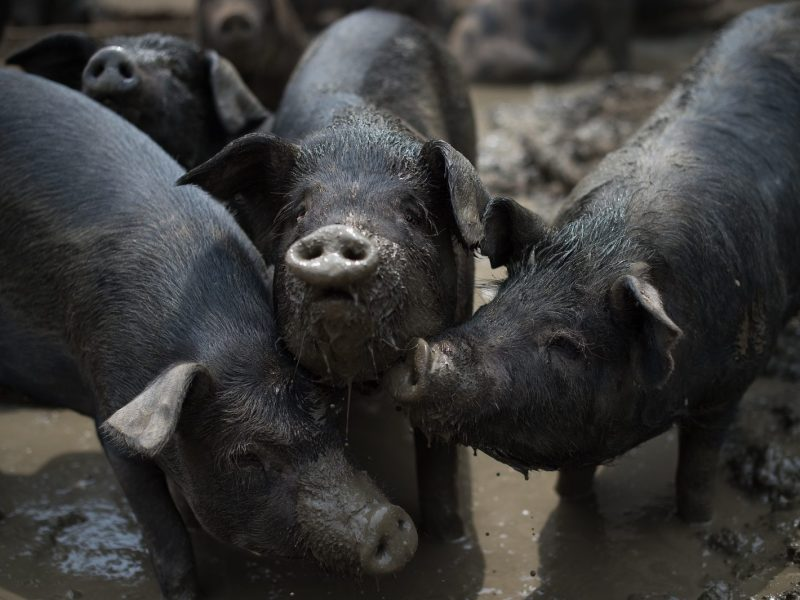 Black pigs at a farm on the outskirts of Beijing. Millions of backyard pig farmers in China are being forced out. Photo: AFP/Nicolas Asfouri