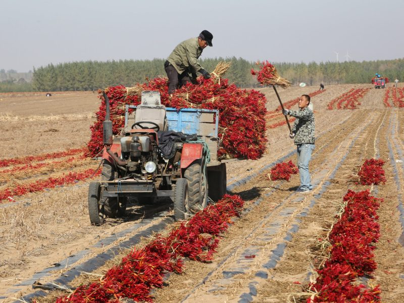 Farmers pile up chili peppers onto a tractor on a farm in Shenyang, Liaoning province. Photo: Reuters/Stringer