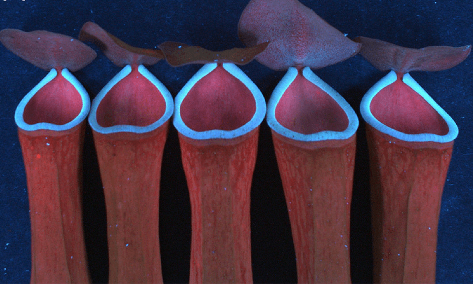 Strong blue fluorescence emissions in ultraviolet, seen primarily in the prey trapping regions of Nepenthes and other carnivorous plants. (Image via S Radhakrishnan)
