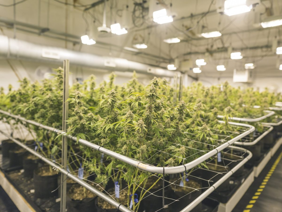 A wide shot of potted cannabis plants under artificial lights in an indoor, commercial grow facility. Photo: Getty Images