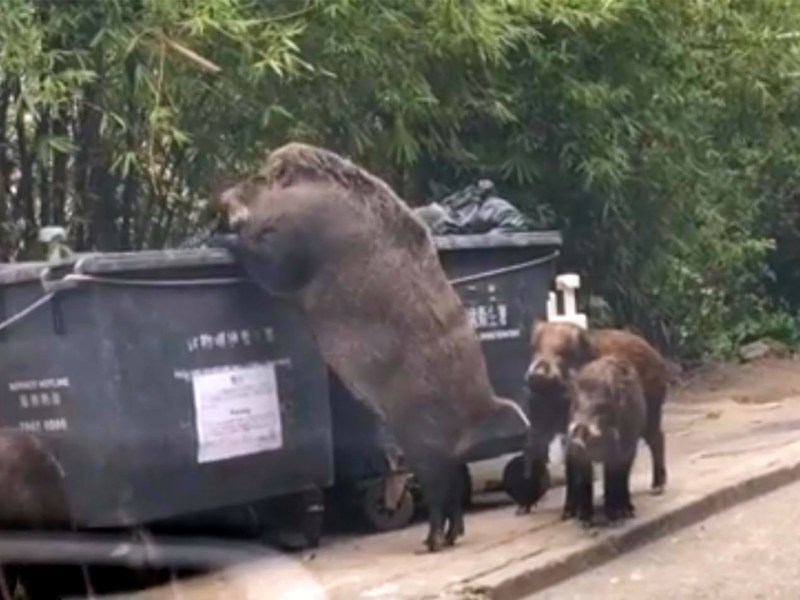 A 'Godzilla-sized' wild boar in Hong Kong in February 2018.  Photo: 涂東東@Facebook
