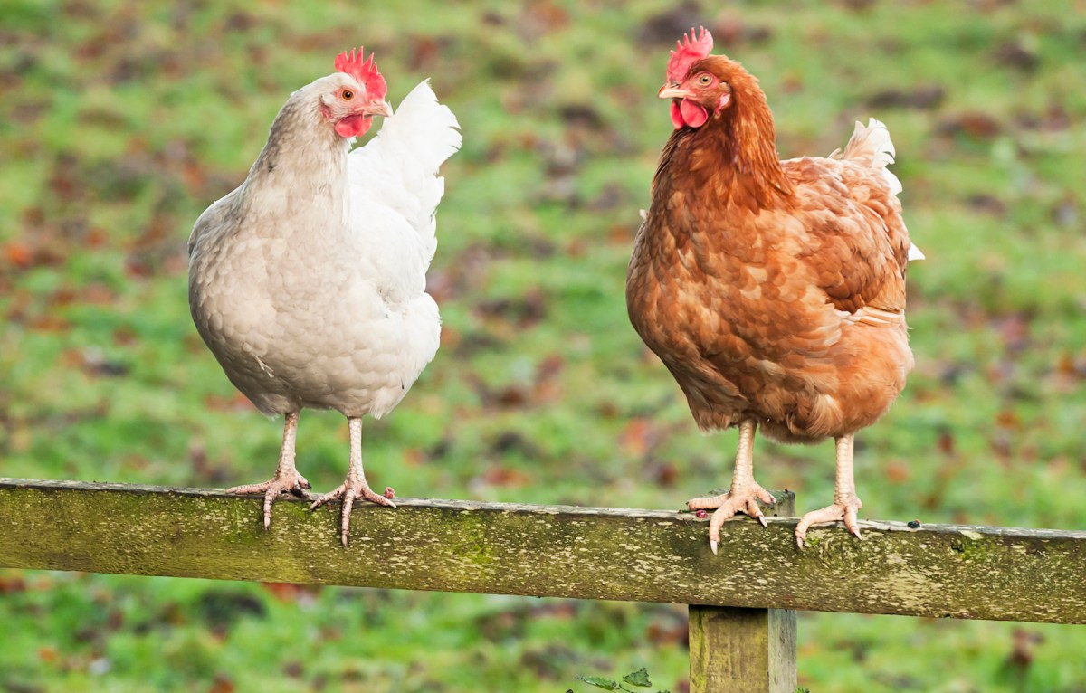 Feathers have started to fly in the China-US trade dispute. Photo: iStock