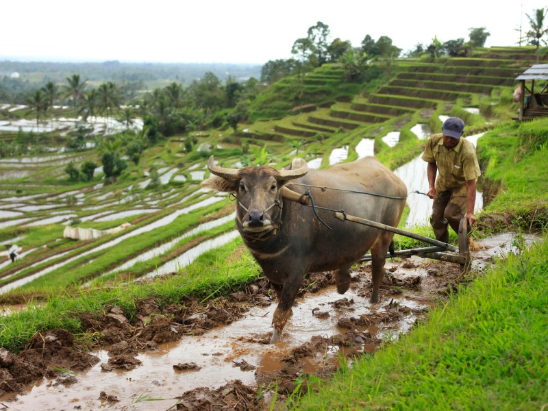 An Indonesian farmer works with a buffalo on rice terraces in Bali, Indonesia. Photo: iStock/Getty Images