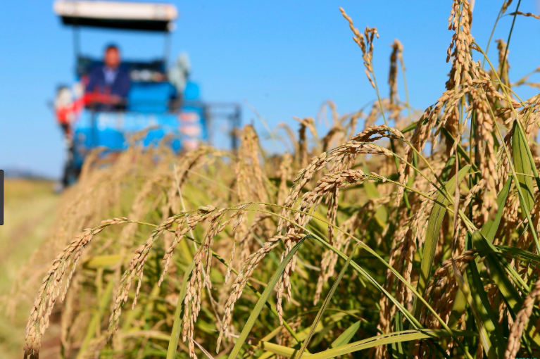 China aims to grow rice in polluted, saline fields. Photo: Xinhua