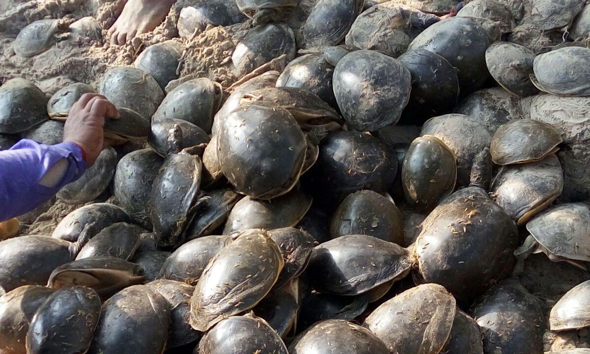 Freshwater turtles. Photo: Aravind Chaturvedi