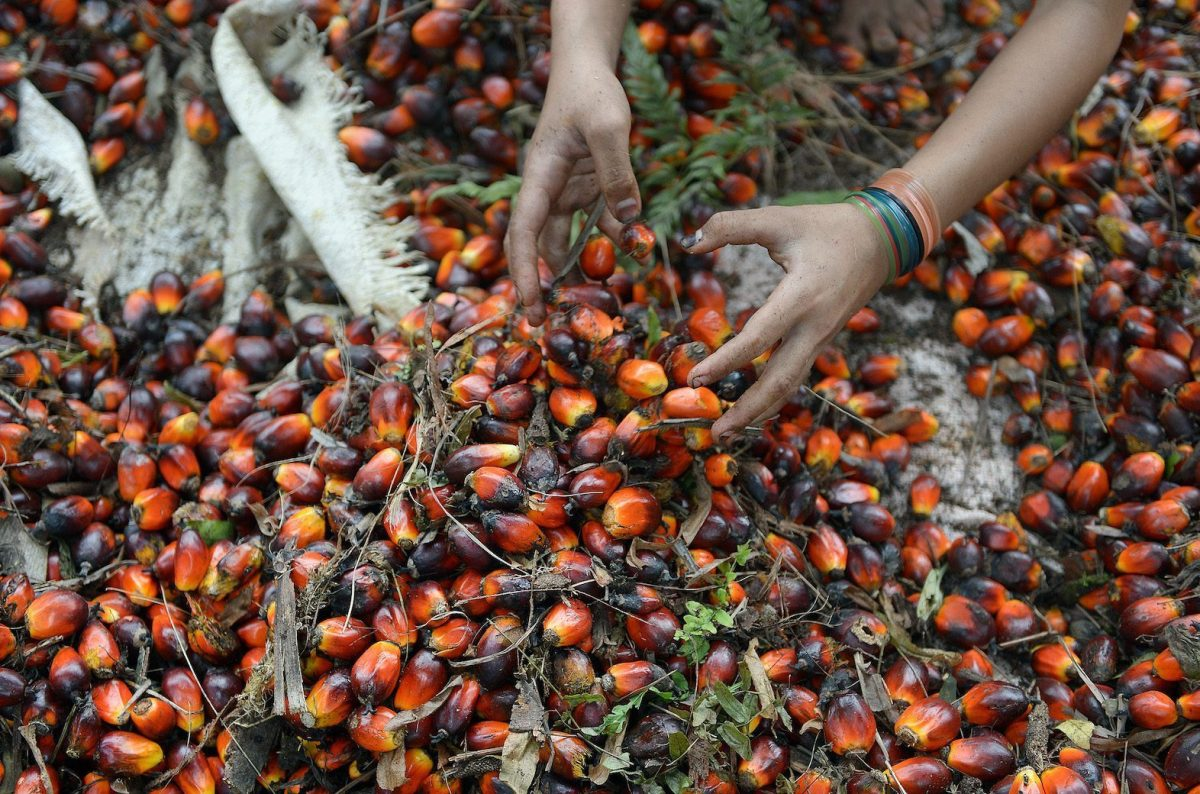 An Indonesian worker handles palm oil seeds at a plantation in Pelalawan, Riau province on Sumatra island. Photo: AFP/ Adek Berry