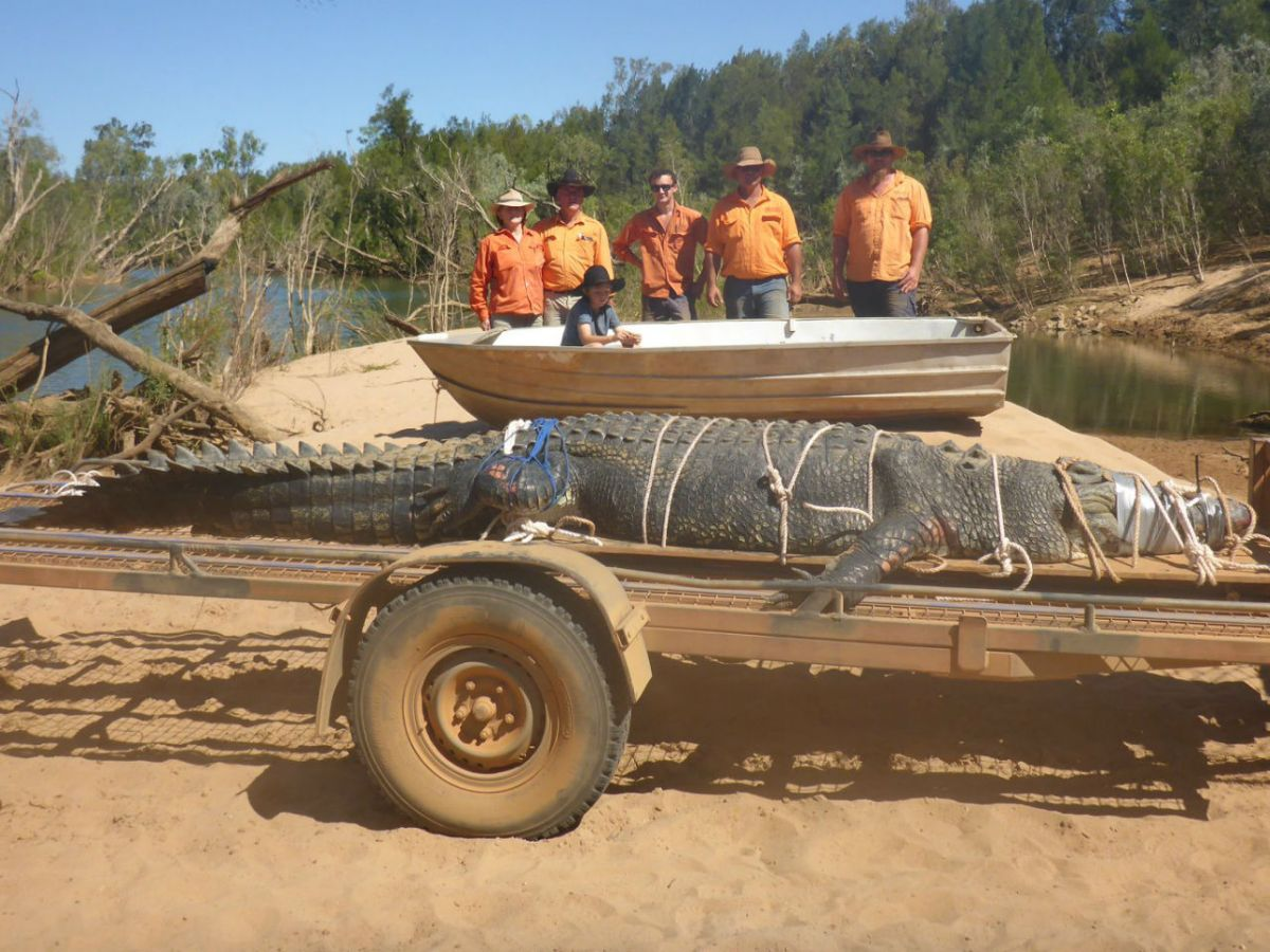 A 16-foot saltwater crocodile was capture after an eight-year hunt in Australia. Photo:  Northern Territory Parks and Wildlife