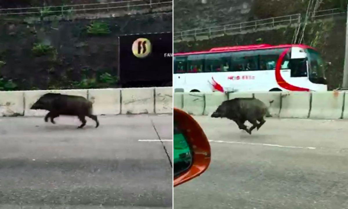 Wild boar runs on the highway in a Kowloon's highway Photo: 巴打絲打Facebook Club@Facebook