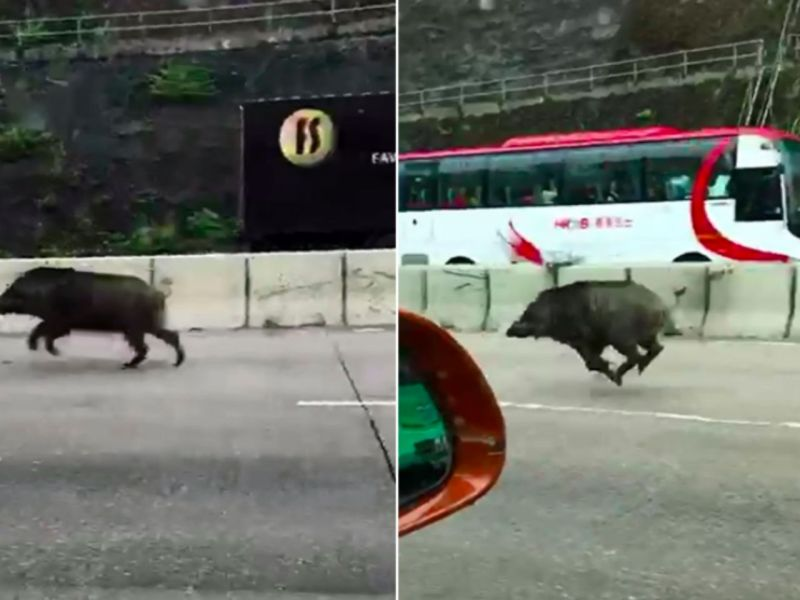 Wild boar runs on the highway in a Kowloon's highway Photo: 巴打絲打Facebook Club@Facebook