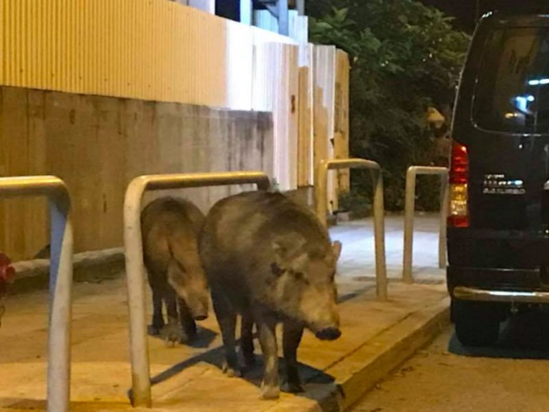 Wild boars in Sai Wan on Hong Kong Island. Photo: 西環變幻時@Facebook