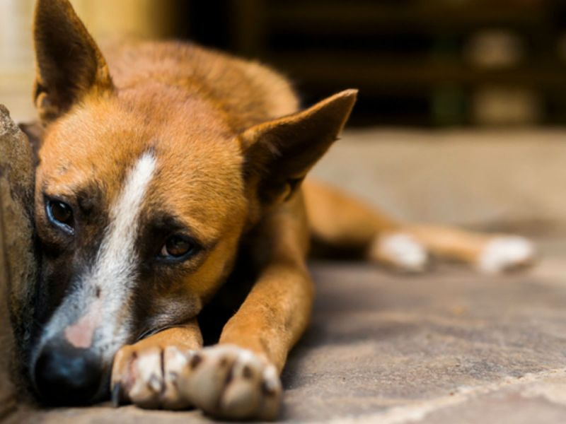 The trade is dog and cat meat in Indonesia has been banned. Photo by iStock.
