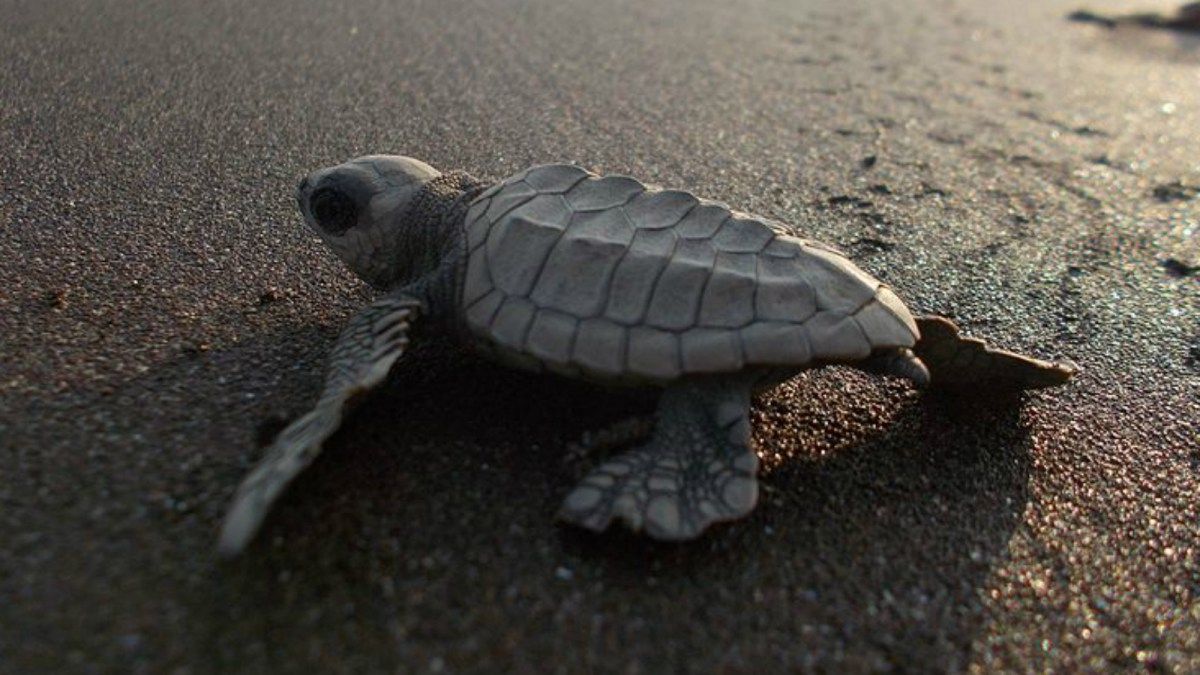 An olive ridley turtle. Photo: Wikimedia Commons / Pawar Pooja