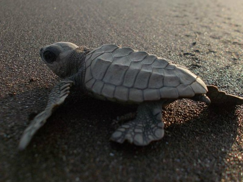 An olive ridley turtle. Photo: Wikimedia Commons / Pawar Pooja