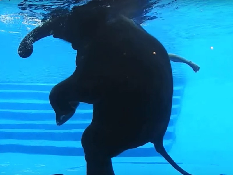 The zoo insists the elephants get exercise and are natural swimmers. Photo: YouTube