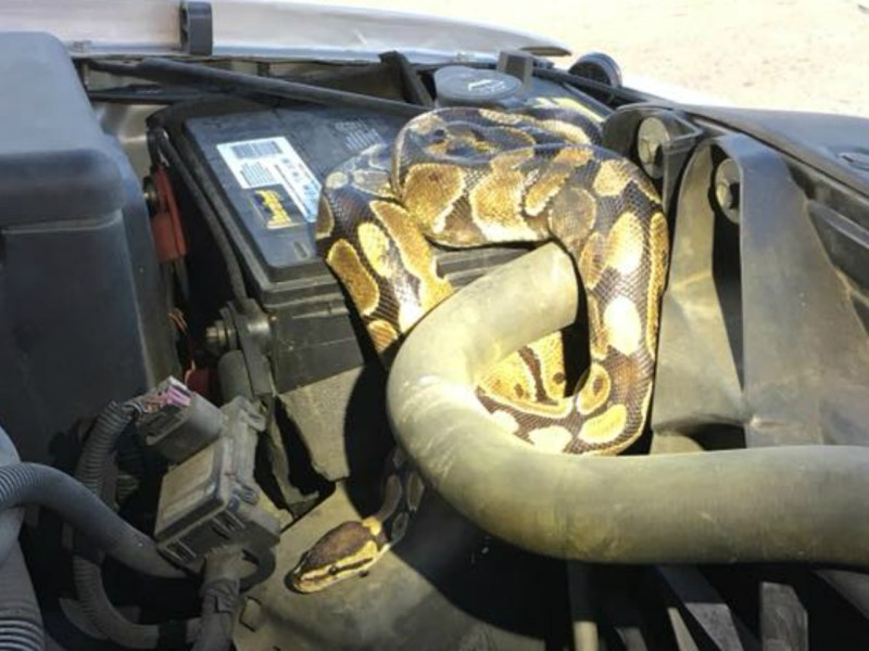 The ball python was reported missing for almost 90 days. Photo courtesy of Omro Police Department@Facebook.