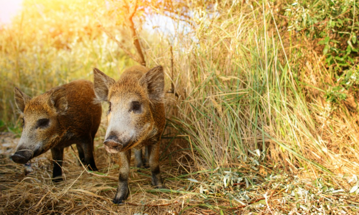 Wild pigs. Photo by iStock.