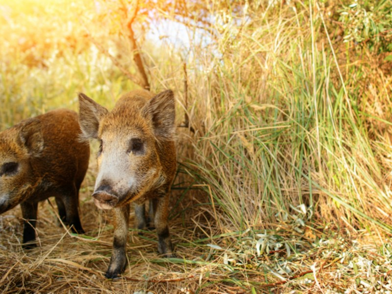 Wild pigs. Photo by iStock.