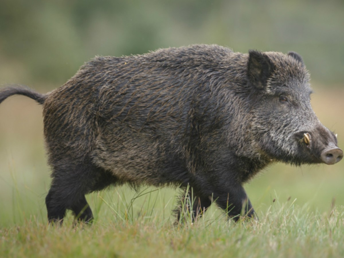 Wild pigs can be dangerous, but experts agree that they are intelligent. Photo: iStock