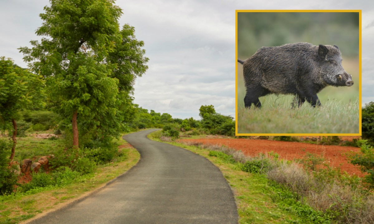 Talavadi locals say authorities' efforts to curb boar invasions have been minimal. Photos: iStock.
