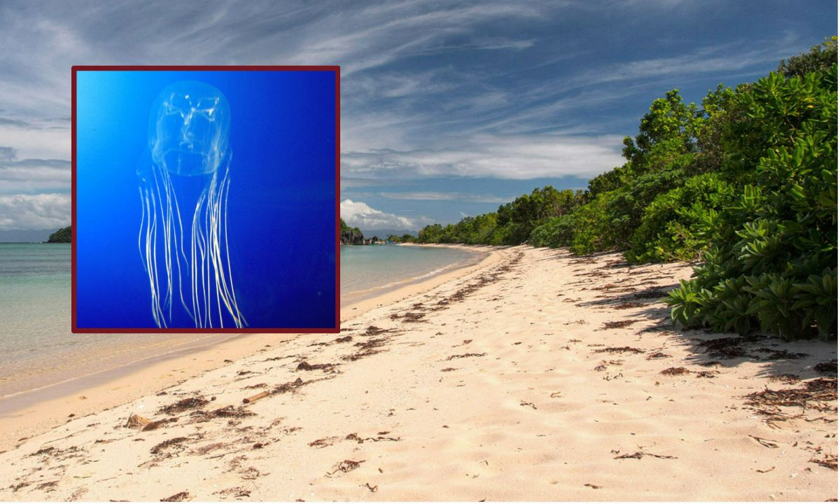 A Filipino girl was killed after being stung by a box jellyfish (inset) on Sabitang Laya Island in Caramoan,  Camarines Sur, Philippines. Photo: Wikimedia Commons