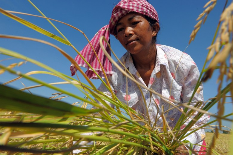 A Cambodian farmer cuts rice in a field in Cambodia's Kampong Speu province, some 60 km south of Phnom Penh on November 14, 2010. Cambodia's parliament approved a five-year national development plan on May 31 aimed at achieving annual growth of six percent, helped by billions of dollars in foreign aid. AFP PHOTO / TANG CHHIN SOTHY / AFP PHOTO / TANG CHHIN SOTHY