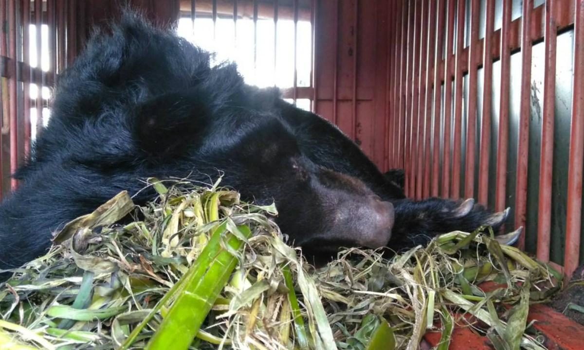 Moon bears are exploited for their bile, which is an sought after for Oriental remedies. Photo: Twitter.