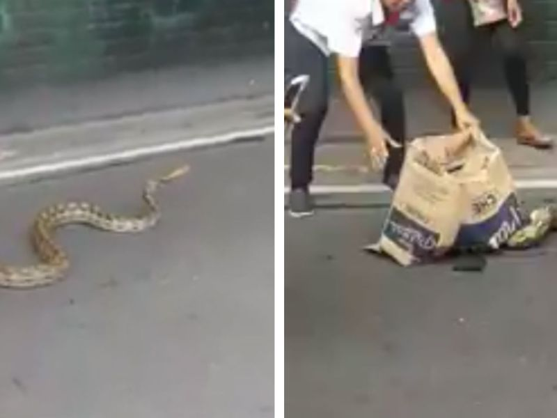 A 3.5-meter python stopped traffic in downtown Manila, Philippines. Photo: Facebook