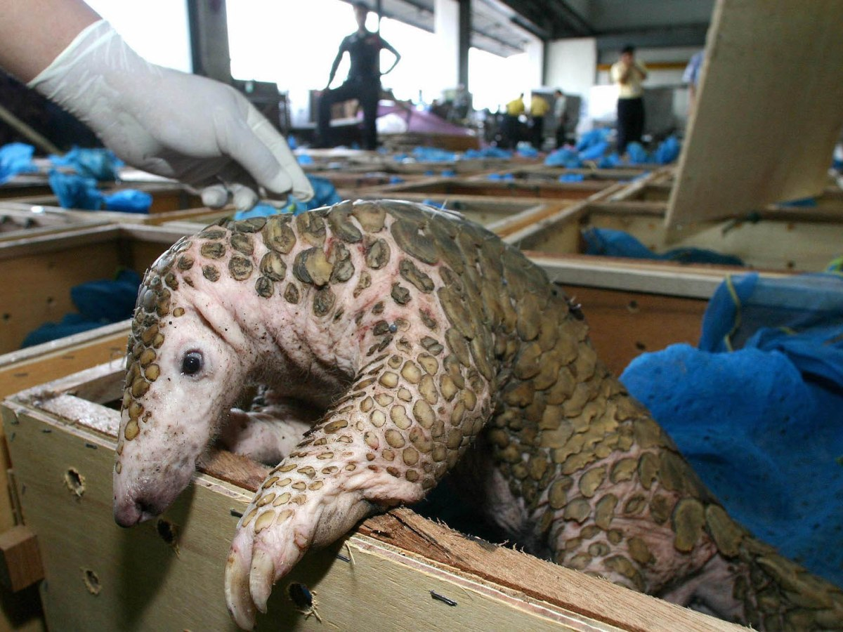 A pangolin takes a quizzical look at freedom after forestry officials seized 245 of them, along with 64 protected black swamp turtles, from wildlife smugglers at Don Mueang Airport in Thailand. Photo: AFP via Bangkok Post / Sarot Meksophawannakul