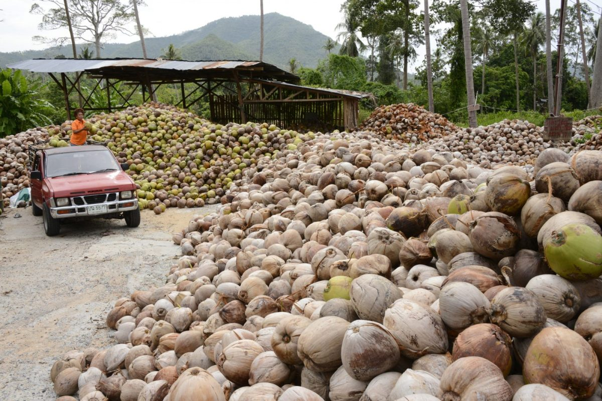 A coconut plantation in southern Thailand. Photo: AFP