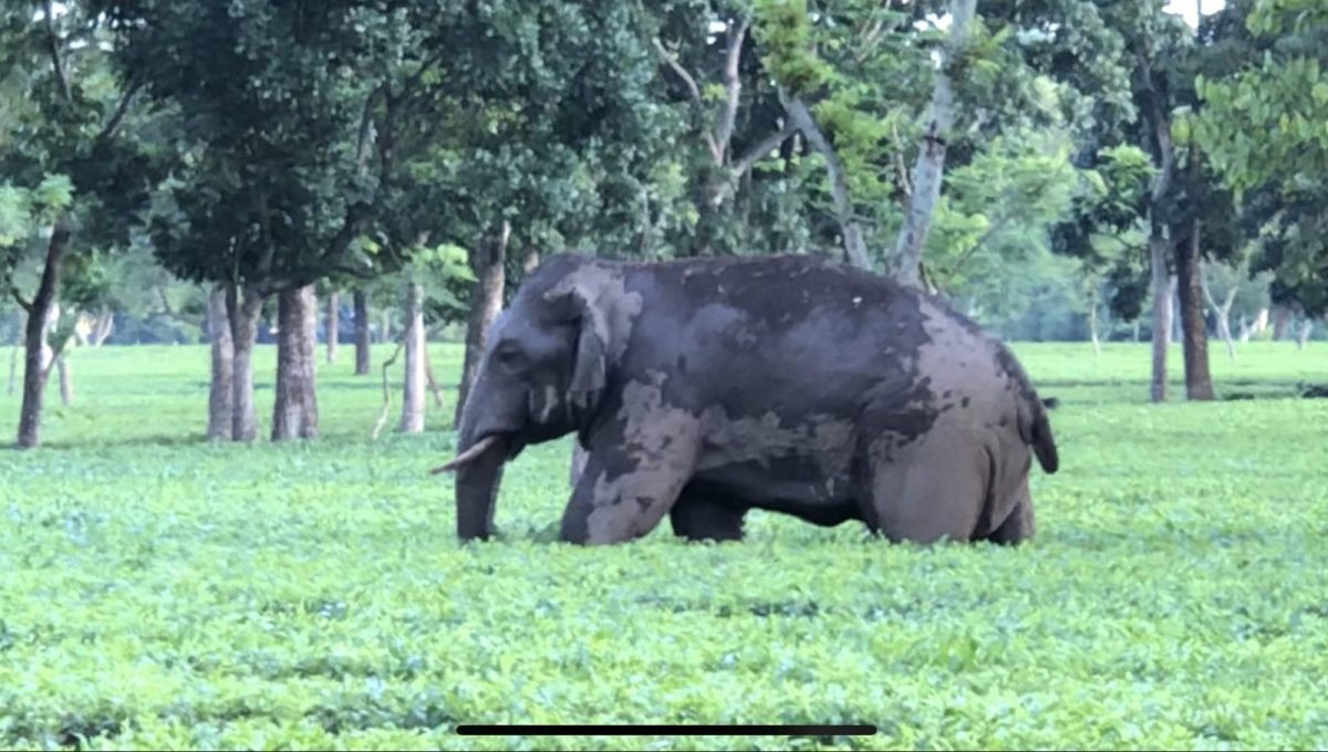 India-based Nuxalbari became the world's first large tea estate to be certified as 'elephant-friendly.' Photo: Courtesy Nuxalbari Tea Estate