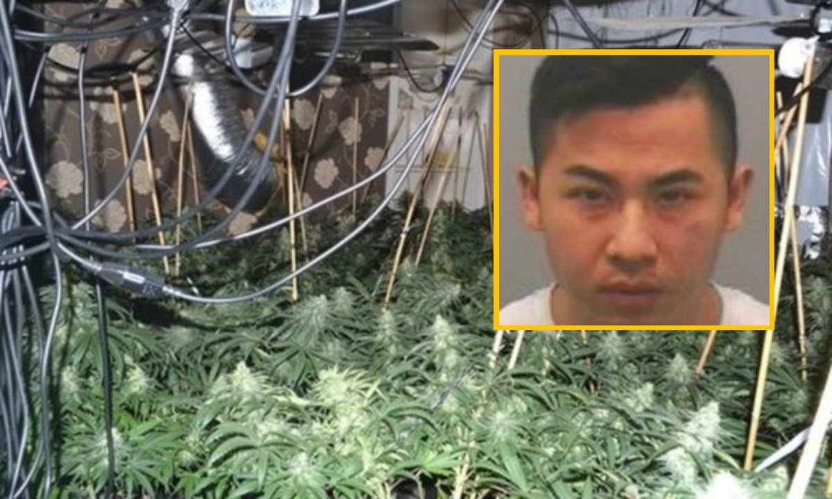 Pham used illegal immigrants to cultivate cannabis crops. Photo: Inset and background courtesy of Northumbria Police