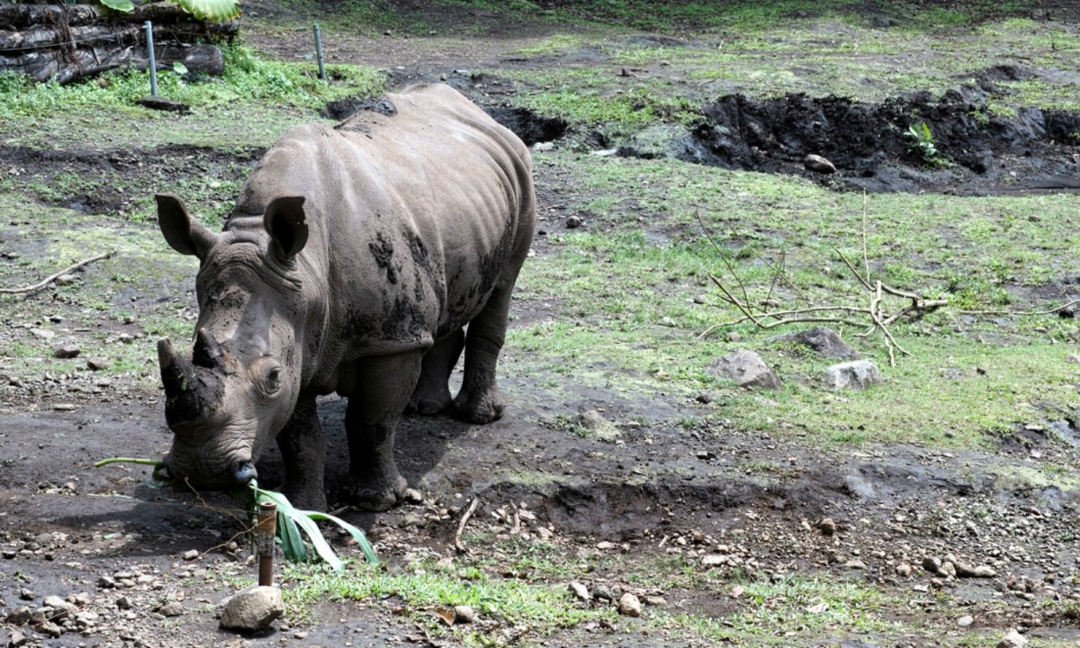 There are only two Sumatran Rhinos left in Malaysia. Photo: iStock