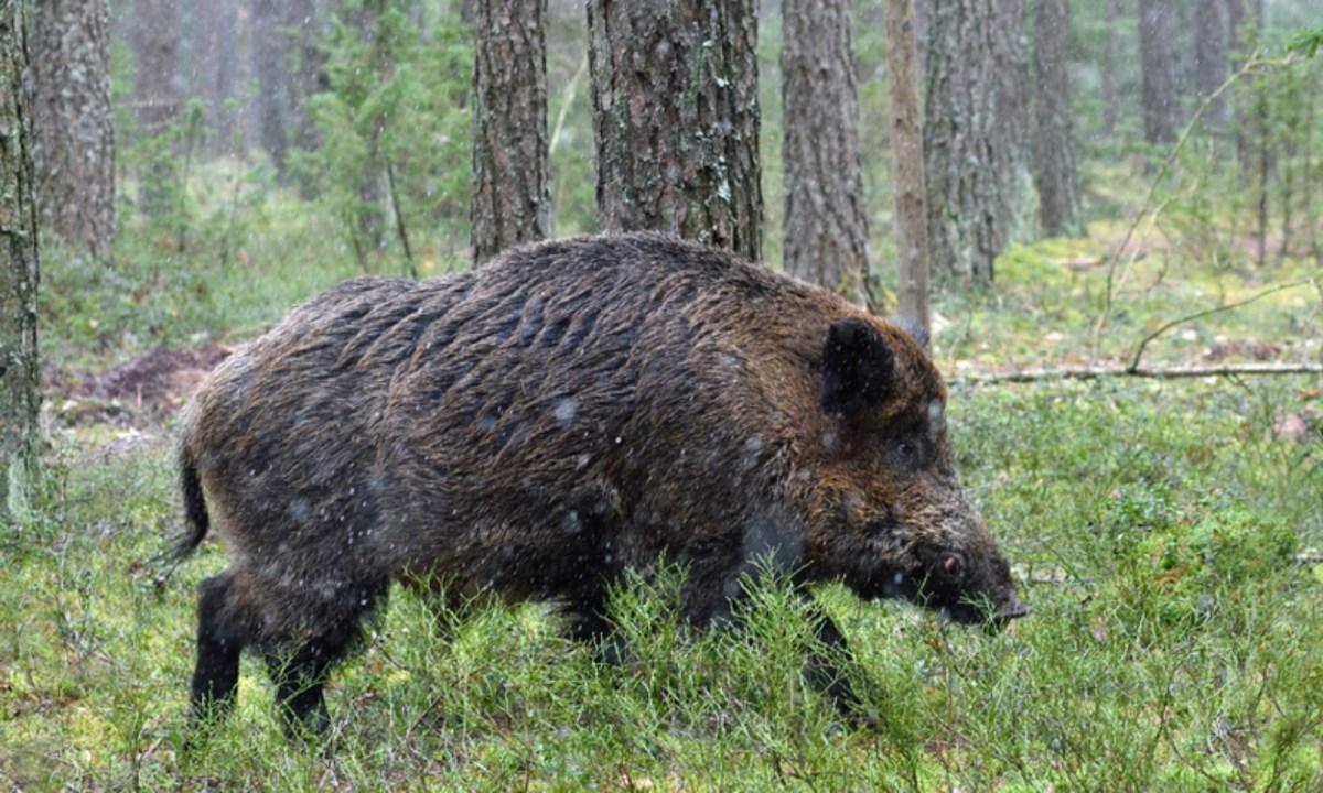 A wild boar. Photo: iStock