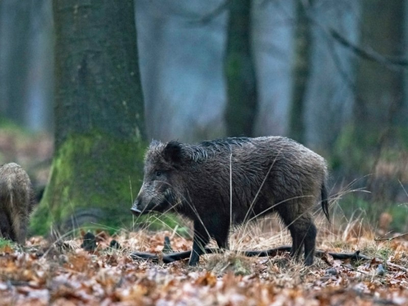A wild boar in India. Photo: iStock.