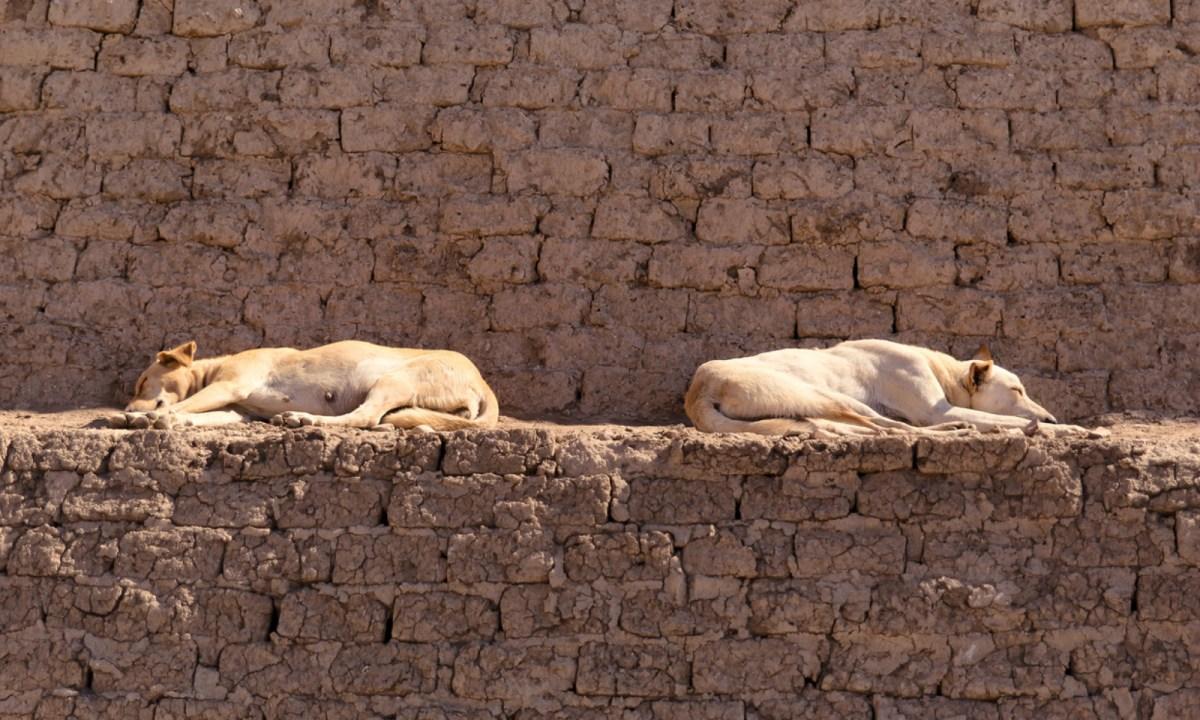 قدرت الحكومة عدد الكلاب الضالة في شوارع مصر ب18 مليون كلب.   صورة: iStock