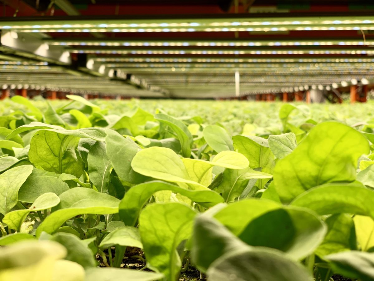 Greens grown in a controlled environment system. Photo: Asia Times