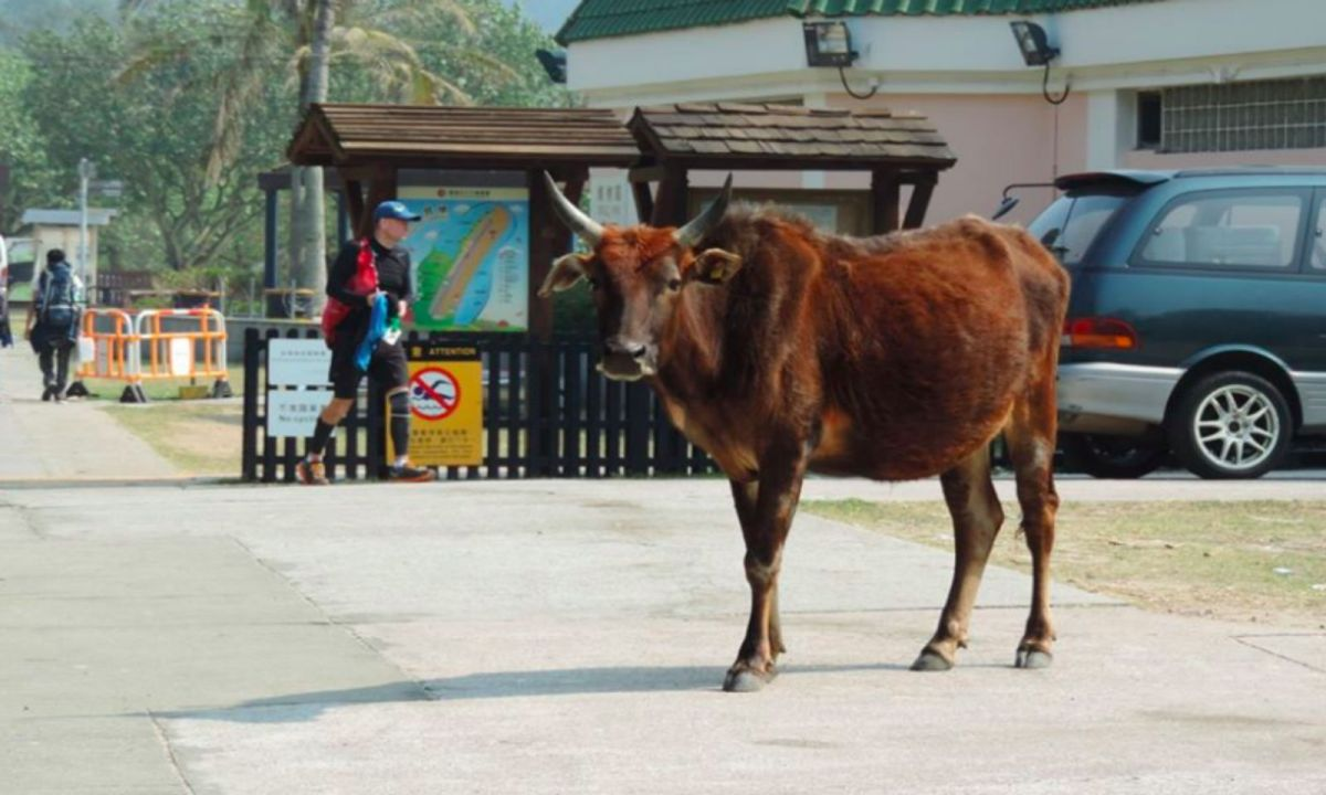 BillyPhoto: Facebook, Billy - the Pui O legendary cow