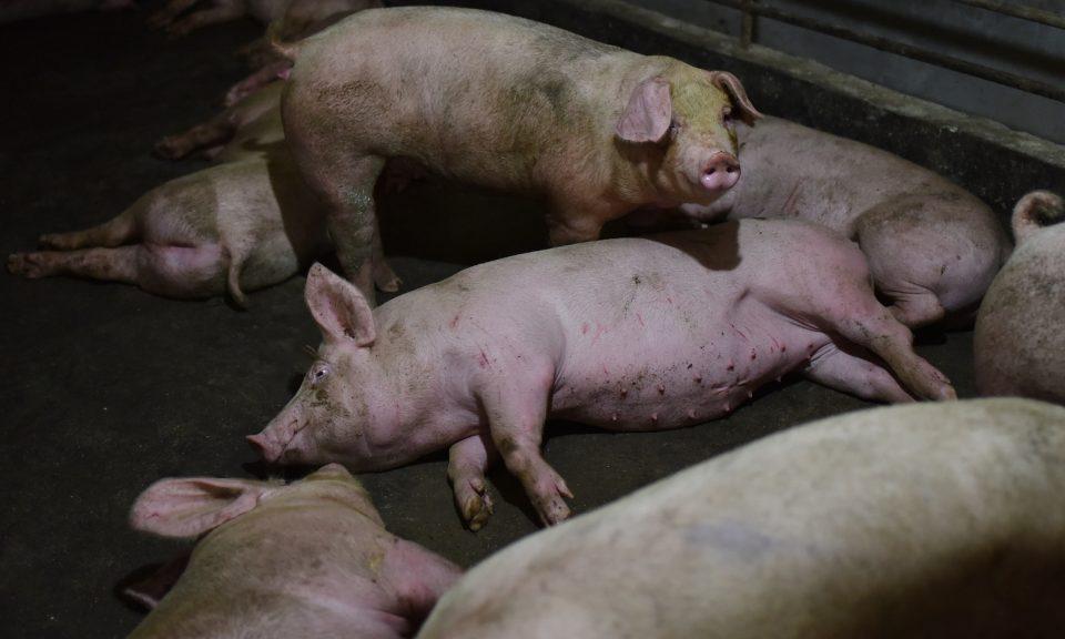 儘管有超過20萬頭豬被宰殺,官方媒體仍然繼續報導中國的「豬瘟已經受控」。相片:AFP / Greg Baker