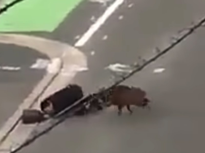 Not a great way to start the day. The boar knocked the man to the ground then turned to bite and gore him before running off. Screen shot from Youtube.
