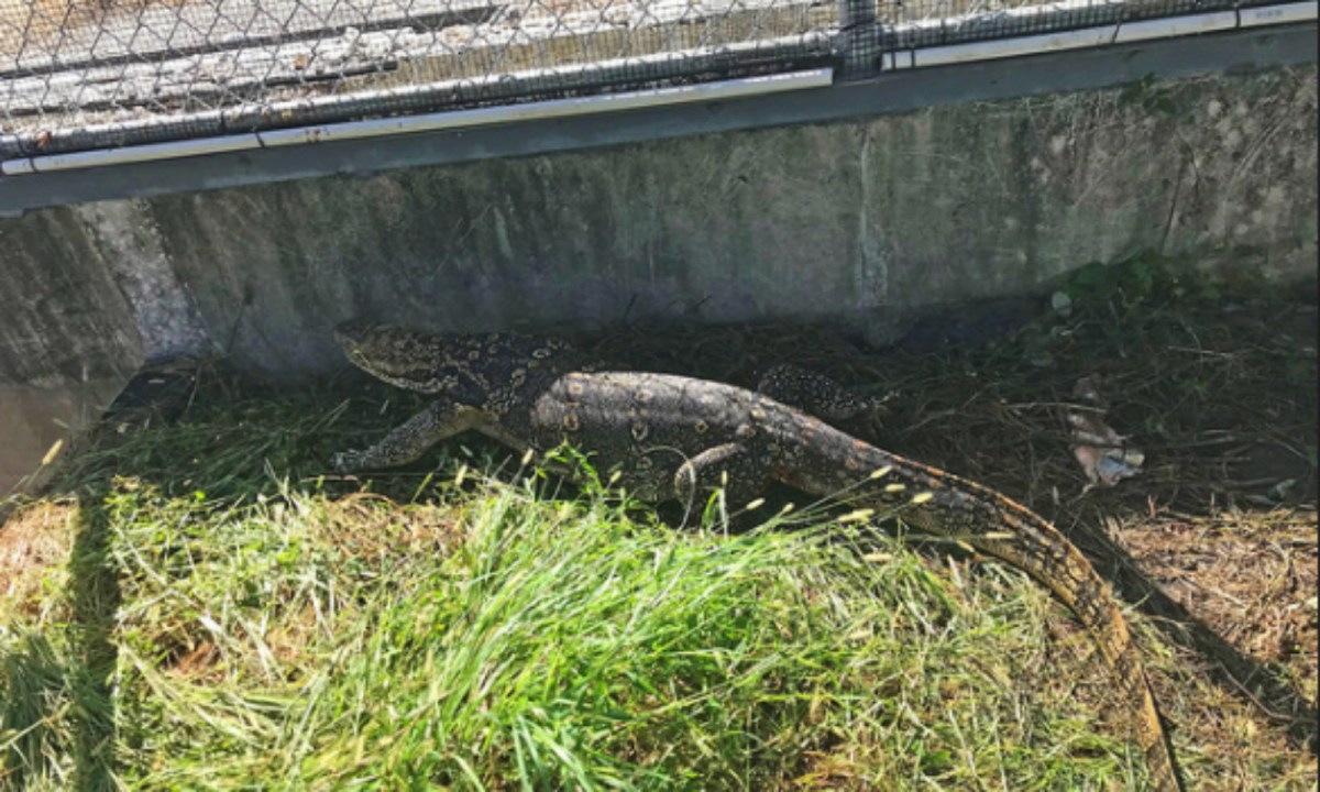 The runaway lizard was captured. Photo: Florida Fish and Wildlife Conservation Commission@Flickr.