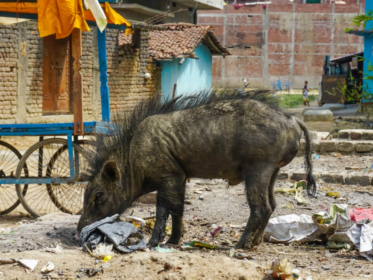 Wild boars in India can be pests in some populated areas. Photo: iStock