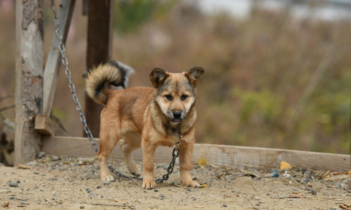 Dogs are eaten in many countries, including Vietnam and China. Photo: iStock