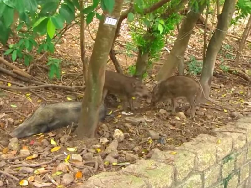 Wild boars in Hong Kong Photo: YouTube