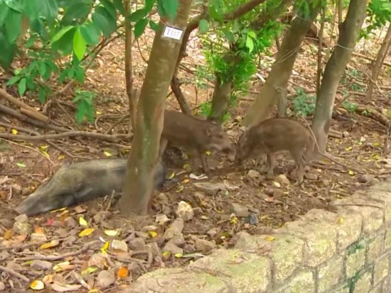 Wild boars in Hong Kong Photo: YouTube